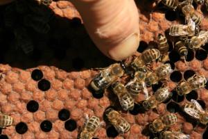 Méhek vizsgálata 5.