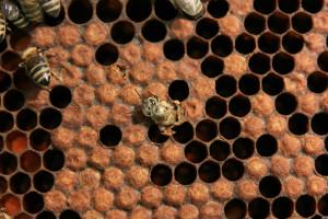Kikelő dolgozó méh 2.